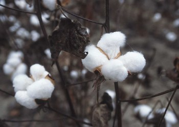 Cotton bolls around the seeds of the cotton plant